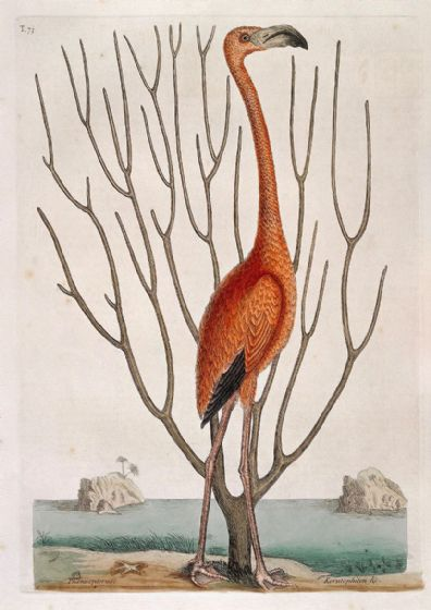 Catesby, Mark: Flamingo with Keratophyton Plant, Bahamas. Fine Art Print/Poster (4740)
